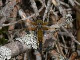 Fyrfläckad trollslända - Libellula quadrimaculata - Four-spotted Chaser