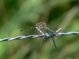 Svart ängstrollslända (hane) - Sympetrum danae - Black Darter (male)