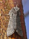 Björkgulhornspinnare - Achlya flavicornis - Yellow Horned