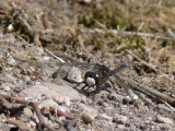 Nordisk myrtrollslända - Leucorrhinia rubicunda - Ruby Whiteface