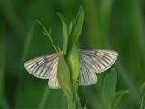 Svartribbad vitvingemätare - Siona lineata - Black-veined Moth