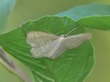 Blekgul lövmätare - Scopula floslactata - Cream Wave