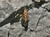 Brunfläckig pärlemorfjäril - Boloria selene - Small Pearl-bordered Fritillary or Silver Meadow
