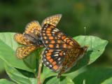 Väddnätfjäril och asknätfjäril - Euphydryas aurinia och E. maturna  - Marsh and Scarce fritillary