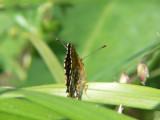 Sotnätfjäril - Melitaea diamina - False-heath Fritillary