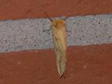 Humlerotätare (hona) - Hepialus humuli - Ghost Moth (female)