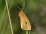Rödfransad björnspinnare (hane) - Diacrisia sannio - Clouded Buff (male)