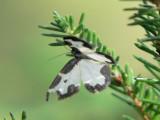 Liten fläckmätare - Lomaspilis marginata - Clouded Border