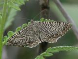 Vågig tofsmätare - Rheumaptera undulata - Scallop Shell