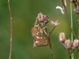Dvärgrotfjäril - Phymatopus hecta (Hepialus h.) - Gold Swift