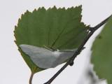 Snövit streckmätare - Cabera pusaria - Common White Wave