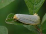 Vit borstspinnare - Cybosia mesomella - Four-dotted Footman