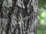 Vågbräddad lavmätare - Alcis repandata - Mottled Beauty