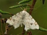 Pilbågmätare - Macaria notata - Peacock Moth