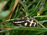 Mindre igelkottspinnare - Parasemia plantaginis - Wood Tiger