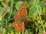Myrpärlemorfjäril - Boloria aquilonaris - Cranberry Fritillary