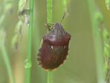 Starrbärfis - Eurygaster testudinaria - Tortoise Shieldbug
