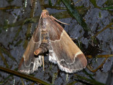 Mjölmott - Pyralis farinalis - Meal Moth