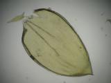 Hylocomium splendens - Husmossa - Glittering Wood-moss