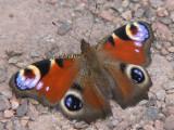 Påfågelöga - Inachis io - Peacock
