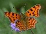 Årets fjärilar - Butterflies and moths 2007