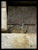 Wild Peruvian rabbit, Machu Picchu