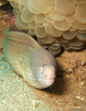 Grey Moray, Jordan (Red Sea)