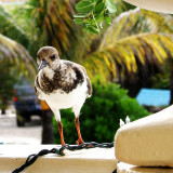 Local at breakfast, Bonaire