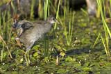 Gallinule poule d'eau juvénile -- Juvenile Moorhen