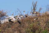 Crested crane, fuglinn er þjóðartákn Ugandabúa