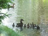 Ducks 2007