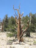 Bristlecone Pines CA