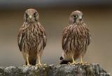 Les faucons du château de Vincennes
