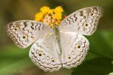 U.P. Diliman Butterflies