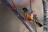 American Robin 3