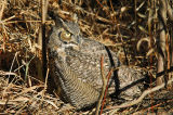 Great Horned Owl 4