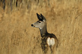 Whitetail Deer 2