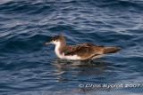 Fluttering shearwater