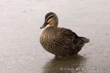 Grey duck, Lake Tarawera