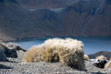 Tussock with lake behind