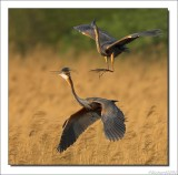 Purperreiger    -    Purple Heron