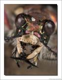 Basterdzandloopkever    -    Tiger beetle