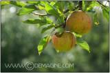 Apples-day at Nijverdal