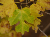 Fall color - Texas Mulberry