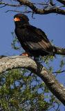 bataluer eagle