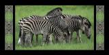 eight zebras