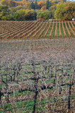 vinyard near clear lk. calif.