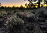 night blooming granite gilia