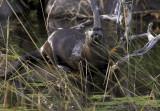 Otter hiding in Wild Rice II.jpg