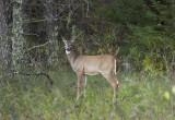 Whitetail doe across from Wegman cabin.jpg